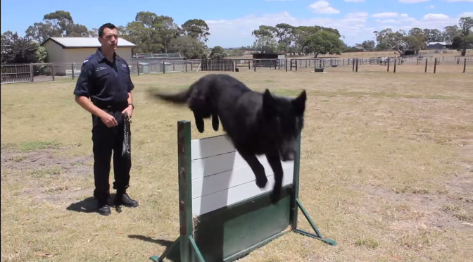 Hero Police Dog Izak Helps Lara Arrest