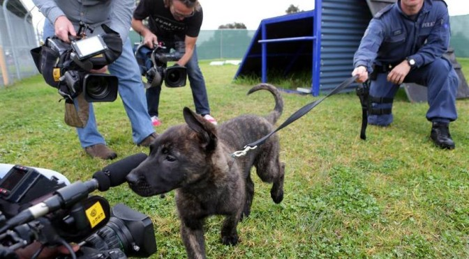 Popular New South Wales Police Dog Now A Real-Action Hero