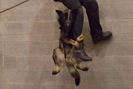 A photo of K-9 officer Niko clinging to his handler's leg while rappelling down the side of a building is barking up a storm on social media.